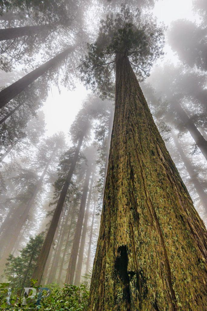 Straining my neck while backpacking through the old growth forest shrouded in mist in Redwood National Park, CA.