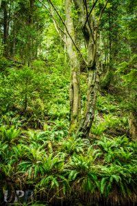 Lush ferns and trees on Sucia Island
