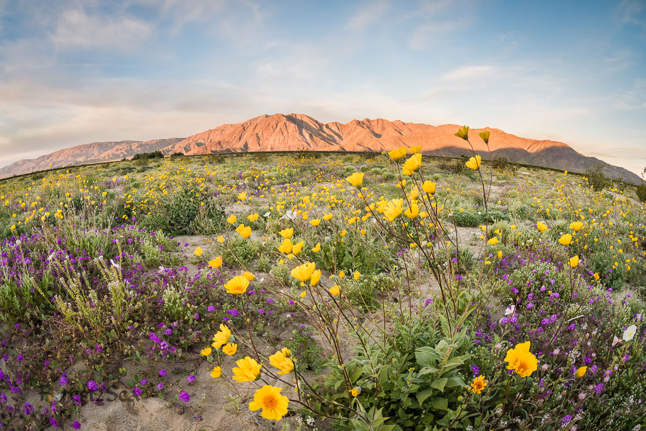 Borrego Super Bloom