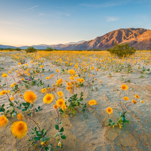Fields of Spring Desert Sunflowers