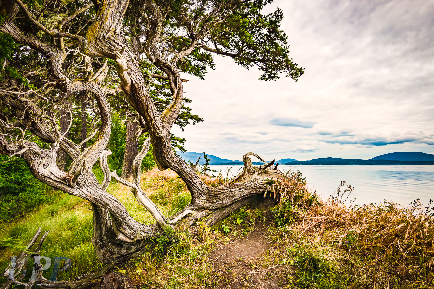 Windswept Tree on the Sea Bluff of Sucia Island