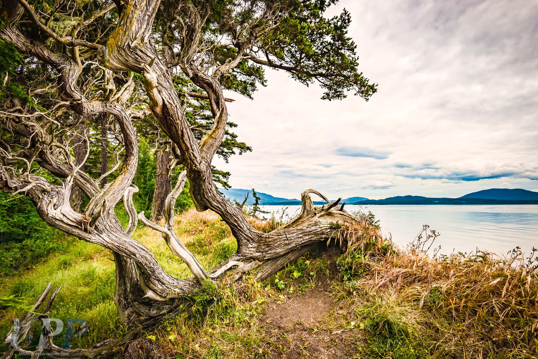 Windswept Tree on the Sea Bluff of Sucia Island