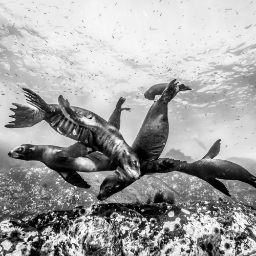 Dance of the Sea Lions